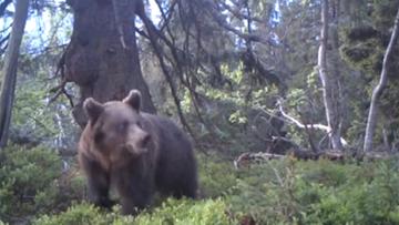 Babiogórski niedźwiedź spaceruje po lesie. Nagranie z wideo-pułapki