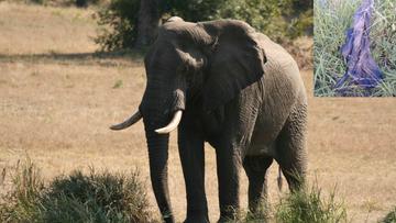 Domniemany kłusownik zabity przez słonia. Zwłoki mężczyzny zjadły lwy