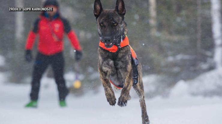 Zaginął pies-ratownik. Ratownicy karkonoskiego GOPR proszą o pomoc